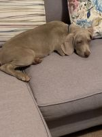 Weimaraner Puppies for sale in 7595 Baymeadows Cir W, Jacksonville, FL 32256, USA. price: NA
