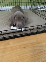 Weimaraner Puppies for sale in Windham, NH 03087, USA. price: NA