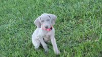 Weimaraner Puppies for sale in Columbus, OH, USA. price: NA