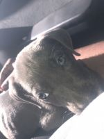 Weimaraner Puppies for sale in East Dublin, GA 31027, USA. price: NA