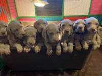 Weimaraner Puppies for sale in Leedey, OK 73654, USA. price: NA