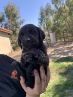 Weimaraner Puppies for sale in Temecula, CA, USA. price: NA