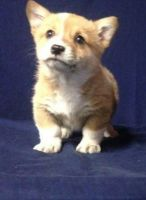 Welsh Corgi Puppies for sale in San Diego, CA, USA. price: NA