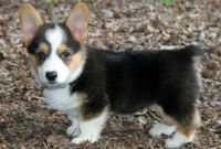 Welsh Corgi Puppies for sale in Tulsa, OK, USA. price: NA