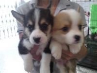 Welsh Corgi Puppies for sale in Virginia Beach, VA, USA. price: NA