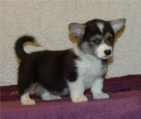 Welsh Corgi Puppies for sale in South Miami, FL, USA. price: NA