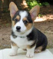 Welsh Corgi Puppies for sale in Alderson, WV 24910, USA. price: NA