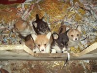 Welsh Corgi Puppies for sale in Anchorage, AK, USA. price: NA