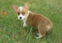 Welsh Corgi Puppies for sale in Gainesville, FL, USA. price: NA