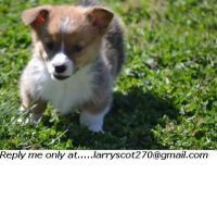 Welsh Corgi Puppies for sale in Vancouver, WA, USA. price: NA