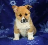 Welsh Corgi Puppies for sale in Berkeley, CA, USA. price: NA