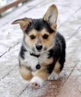 Welsh Corgi Puppies for sale in Montgomery, AL, USA. price: NA