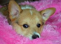Welsh Corgi Puppies for sale in Fort Wayne, IN, USA. price: NA