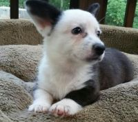 Welsh Corgi Puppies for sale in Alexander, ME 04694, USA. price: NA