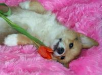Welsh Corgi Puppies for sale in Manchester, NH, USA. price: NA