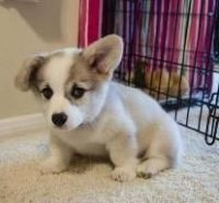 Welsh Corgi Puppies for sale in Jersey City, NJ, USA. price: NA