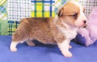 Welsh Corgi Puppies for sale in Del Rio, TX 78840, USA. price: NA