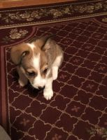 Welsh Corgi Puppies for sale in Pomona, CA, USA. price: NA