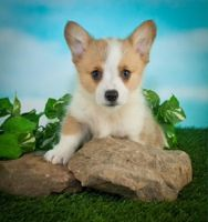 Welsh Corgi Puppies for sale in Canton, OH, USA. price: NA