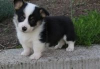 Welsh Corgi Puppies for sale in Phoenix, AZ, USA. price: NA