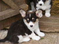 Welsh Corgi Puppies for sale in El Paso, TX, USA. price: NA