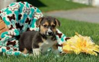 Welsh Corgi Puppies for sale in Pittsburgh, PA, USA. price: NA