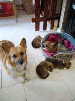 Welsh Corgi Puppies for sale in Washington, DC, USA. price: NA