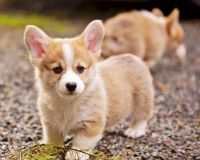 Welsh Corgi Puppies for sale in Santa Clara, CA, USA. price: NA