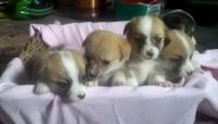 Welsh Corgi Puppies for sale in Birmingham, AL, USA. price: NA