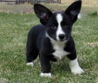 Welsh Corgi Puppies for sale in Miami, FL, USA. price: NA