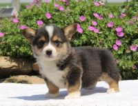 Welsh Corgi Puppies for sale in Atlanta, GA, USA. price: NA