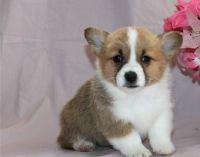 Welsh Corgi Puppies for sale in Alberta Ave, Staten Island, NY 10314, USA. price: NA