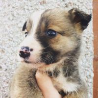 Welsh Corgi Puppies for sale in Maryland City, MD, USA. price: NA