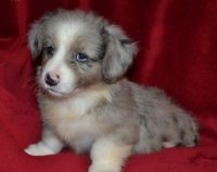 Welsh Corgi Puppies for sale in Los Angeles, CA 90005, USA. price: NA