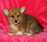 Welsh Corgi Puppies for sale in California St, San Francisco, CA, USA. price: NA