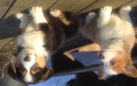 Welsh Corgi Puppies for sale in Coldwater, MI 49036, USA. price: NA