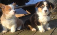 Welsh Corgi Puppies for sale in Harrisburg, PA, USA. price: NA