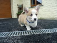 Welsh Corgi Puppies for sale in Columbus, OH 43215, USA. price: NA