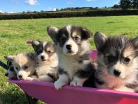 Welsh Corgi Puppies for sale in IL-59, Plainfield, IL, USA. price: NA