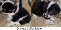 Welsh Corgi Puppies for sale in Huntington, TX 75949, USA. price: NA