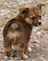 Welsh Corgi Puppies for sale in Stockton, CA, USA. price: NA
