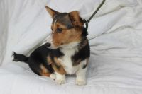 Welsh Corgi Puppies for sale in Seattle, WA, USA. price: NA