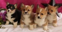 Welsh Corgi Puppies for sale in Colorado Springs, CO, USA. price: NA