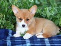 Welsh Corgi Puppies for sale in Lincoln, CA, USA. price: NA