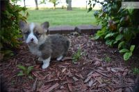 Welsh Corgi Puppies for sale in Michigan Ave, Inkster, MI 48141, USA. price: NA