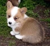 Welsh Corgi Puppies for sale in Fresno, CA, USA. price: NA