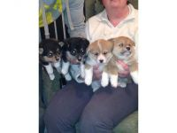 Welsh Corgi Puppies for sale in Manassas Park City Schools, Manassas Park, VA 20111, USA. price: NA