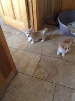 Welsh Corgi Puppies for sale in Bronx, NY, USA. price: NA