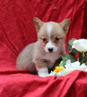 Welsh Corgi Puppies for sale in Los Angeles, CA 90012, USA. price: NA