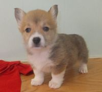 Welsh Corgi Puppies for sale in Fresno, CA 93792, USA. price: NA